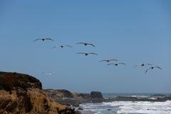 Brown Pelican (Pelecanus occidentalis). In flight Royalty Free Stock Photos