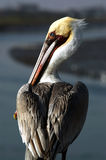 Brown Pelican - Pelecanus Occidentalis. Pelican watches for his next meal in the Bolsa Chica Wetlands in Huntington Beach, Californnia Royalty Free Stock Image