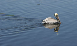 Brown Pelican, Pelecanus occidentalis Stock Image