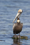 Brown Pelican, Pelecanus occidentalis Royalty Free Stock Photography