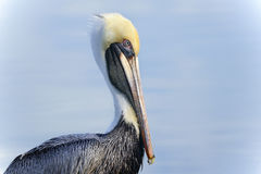 Brown pelican, pelecanus occidentalis Stock Images