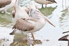Brown pelican, pelecanus occidentalis.  stock photo