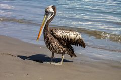 Brown pelican Pelecanus occidentalis Royalty Free Stock Photos