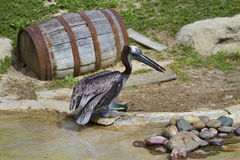 Brown Pelican - Pelecanus occidentalis Stock Image