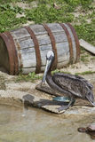 Brown Pelican - Pelecanus occidentalis Royalty Free Stock Image