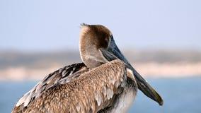 Brown Pelican - pelecanus occidentalis - closeup of single bird stock images
