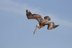 Brown Pelican Diving. A brown pelican Pelecanus occidentalis diving Royalty Free Stock Image