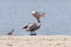 Brown pelican (Pelecanus occidentalis) with a fish in its pouch Stock Photos