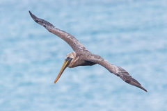 Brown pelican (Pelecanus occidentalis) Stock Photography