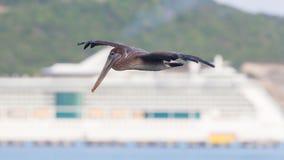 Brown pelican (Pelecanus occidentalis) Stock Photos