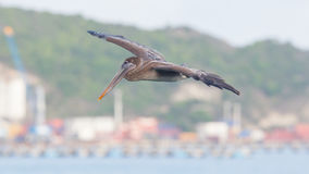 Brown pelican (Pelecanus occidentalis) Royalty Free Stock Image