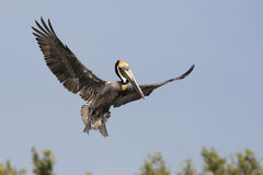 Brown Pelican (Pelecanus occidentalis) flying above the Mangrove trees Royalty Free Stock Images