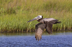The  brown pelican (Pelecanus occidentalis) flying in the coasta Royalty Free Stock Image
