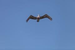 Brown pelican, Pelecanus occidentalis Stock Images