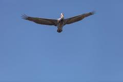 Brown pelican, Pelecanus occidentalis Stock Photos