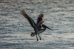 Brown pelican Pelecanus occidentalis in Miami Beach Stock Images