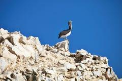 Brown Pelican, Pelecanus occidentalis,  Paracas - Peru Stock Image