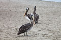 Brown Pelican, Pelecanus occidentalis,  Paracas - Peru Stock Photography