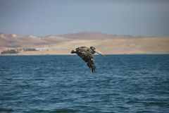 Brown Pelican, Pelecanus occidentalis,  Paracas - Peru Royalty Free Stock Images