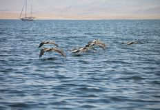 Brown Pelican, Pelecanus occidentalis,  Paracas - Peru Stock Photo