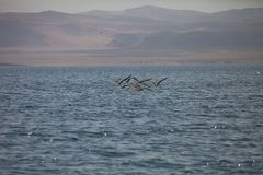 Brown Pelican, Pelecanus occidentalis,  Paracas - Peru Royalty Free Stock Photo
