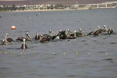 Brown Pelican, Pelecanus occidentalis,  Paracas - Peru Royalty Free Stock Images