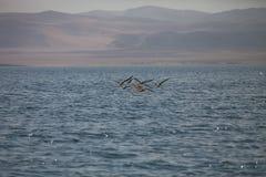 Brown Pelican, Pelecanus occidentalis,  Paracas - Peru Royalty Free Stock Image