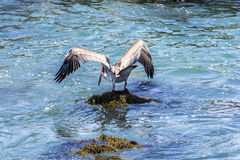 Brown Pelican (Pelecanus occidentalis) perched on a rock Stock Photos