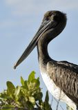 The brown pelican (Pelecanus occidentalis) portrait on sky blue  background Royalty Free Stock Photography