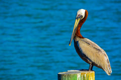 A Brown Pelican Pelecanus Occidentalis resting at Johns Pass on the Gulf of Mexico, Florida Royalty Free Stock Image