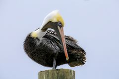 Brown Pelican on a pole. A Brown Pelican , Pelecanus occidentalis,sits on  a pole  in Ponce Inlet, Florida, February 2018 Royalty Free Stock Images