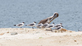 Brown pelican (Pelecanus occidentalis) sitting between Laughing Stock Photo