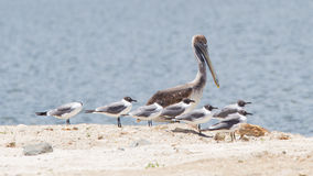 Brown pelican (Pelecanus occidentalis) sitting between Laughing Stock Photos