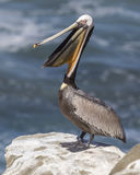 A Brown Pelican Pelecanus occidentalis stretches its neck with Stock Photography