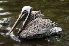 Brown Pelican (Pelecanus occidentalis). Brown Pelican swimming.  Davie, Florida, United States Royalty Free Stock Image