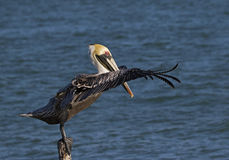 Brown Pelican (Pelecanus occidentalis) Stock Photo