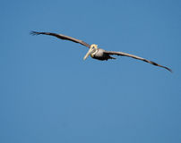 Brown Pelican ( Pelecanus occidentals) Royalty Free Stock Photo