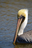 Brown Pelican ( Pelecanus occidentals) Stock Photos