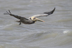 Brown Pelican With a Fishing Line Wrapped Around its Wing Royalty Free Stock Images