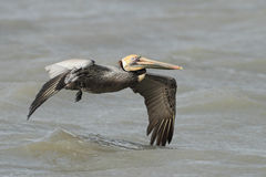 Brown Pelican With a Fishing Line Wrapped Around its Wing Stock Image