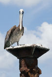 A brown pelican (Pelecanus occidentals) perched Stock Photo