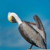 Brown Pelican Pelicans occidentalis Stock Images