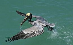 Brown Pelican (Pelicanus occidentalis) Royalty Free Stock Photo