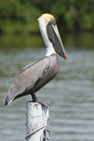 Brown Pelican Perched on a Dock Piling Royalty Free Stock Photos
