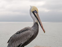 Brown Pelican Stock Photos