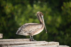 Brown Pelican. Pelican perched on rickety wooden bridge with green foliage background Stock Images