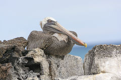 Brown Pelican Perched on a Rock Showing its Inner Eyelid Royalty Free Stock Photography