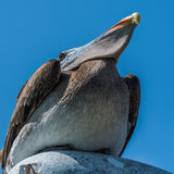 Brown pelican perched on streetlamp from below Stock Photography