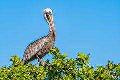Brown Pelican perched on a tree top. A Brown Pelican perched on top of a tree by the beach in Negril, Jamaica Royalty Free Stock Photo