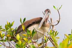 Brown pelican perching Royalty Free Stock Image